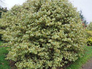 Camellia japonica 'Variegata'