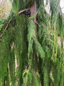 Chamaecyparis nookatensis 'Jubilee'