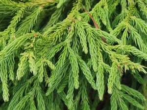 Cryptomeria japonica