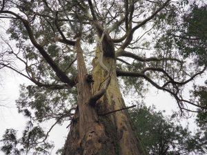 Eucalyptus muelleriana