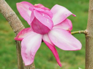 Magnolia 'Betty Jessel'