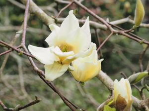 Magnolia 'Sundance'