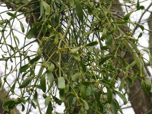 Mistletoe in Davidia involucrata