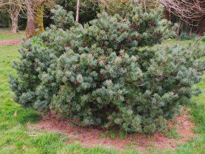 Pinus parvifolius 'Negishi'