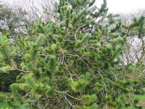 Pinus incinata