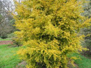Podocarpus totara 'Aurea'