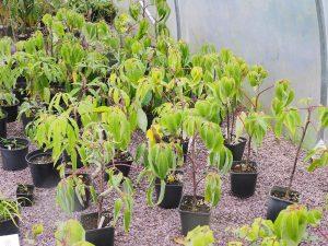 Schefflera frangipanensis