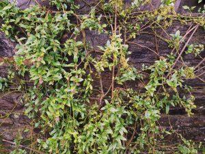 evergreen climber