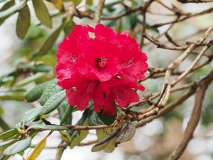 Rhododendron zelanicum