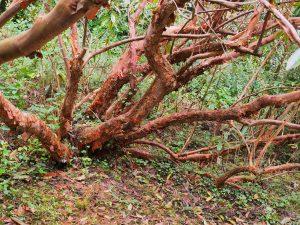 Rhododendorn maddenii