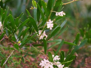 Acacia mucronatus