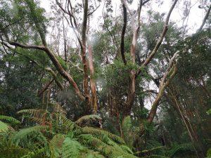 huge Eucalyptus globulus