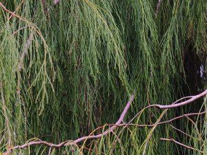 Chamaecyparisus lawsoniana imbricata 'Pendula'