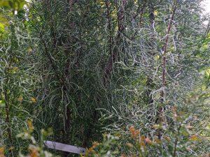 Halocarpus bidwillii