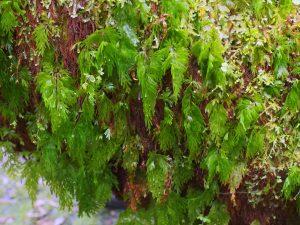 Hymanophyllus ferns