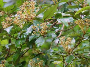 Olearia arborescens