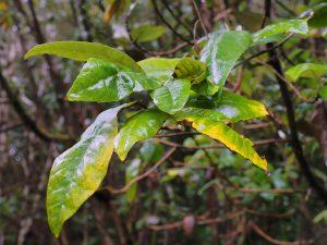 Olearia argyrophylla