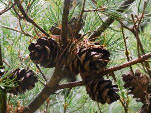 Picea parviflora