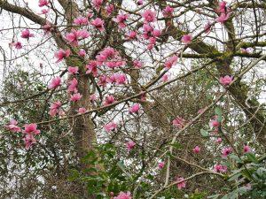 Magnolia 'Ambrose Congreve'