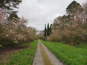Magnolia campbellii avenue