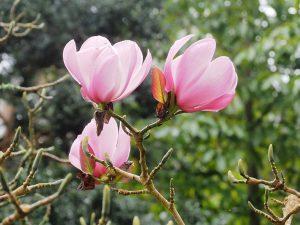 Magnolia sprengeri Diva 'Copeland Court'
