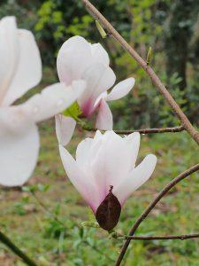 Magnolia 'Felicity'