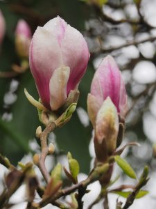 Magnolia soulangeana 'Lombardy Rose'