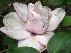 Magnolia 'Marjorie Congreve'