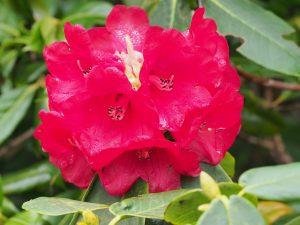 Rhododendron 'Boadicea'