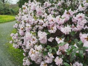 Rhododendron ciliicalyx