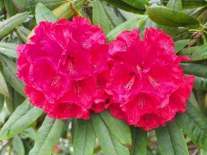 Rhododendron 'Etta Burrows'
