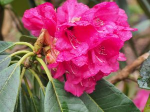 Rhododendron magnificum