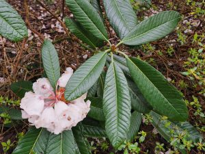 Rhododendron mostroseanum