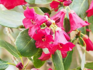 Rhododendron thompsonii