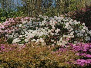 Rhododendron williamsianum x decorum hybrids