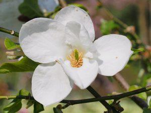 Magnolia pseudokobus 'Kubimishimodori'