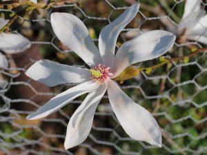 Magnolia 'Slavins No 4'