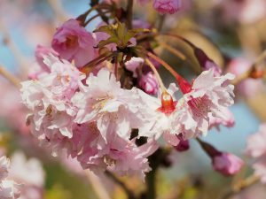 Prunus 'Hally Jolievette'