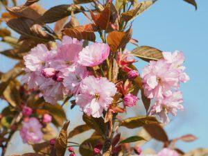 Prunus matsumae 'Hokusai'