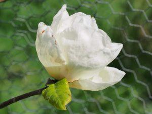 Magnolia 'Gold Cup'