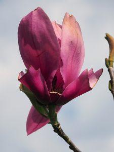 Magnolia 'Livingstone'