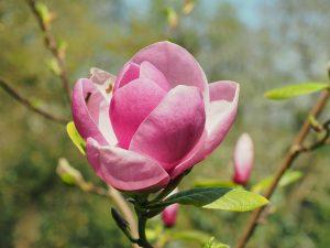 Magnolia 'Theodora'