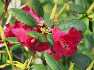 Rhododendron thompsonii