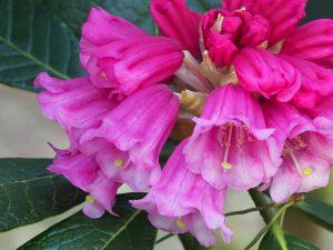 Rhododendron kesangiae