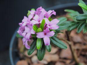 Daphne 'Cheriton'