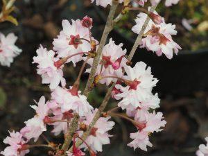 Prunus incisa 'Oshidori'