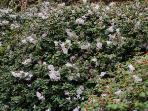 Rhododendron williamsianum x matinianum