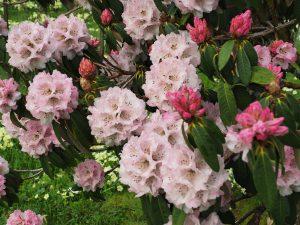 Rhododendron arboreum variety