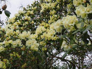 Rhododendron 'Damaris'
