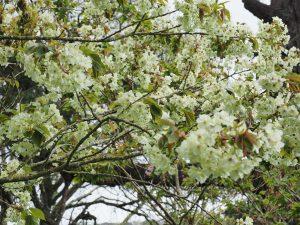 Prunus 'Gyoiku'